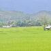 rice field pai